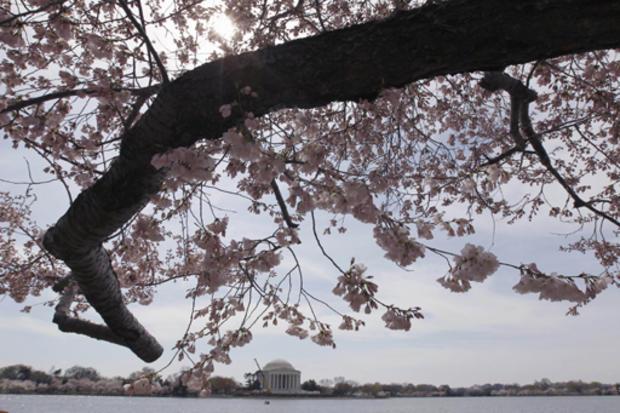 cherry_blossoms_AP110325134572.jpg
