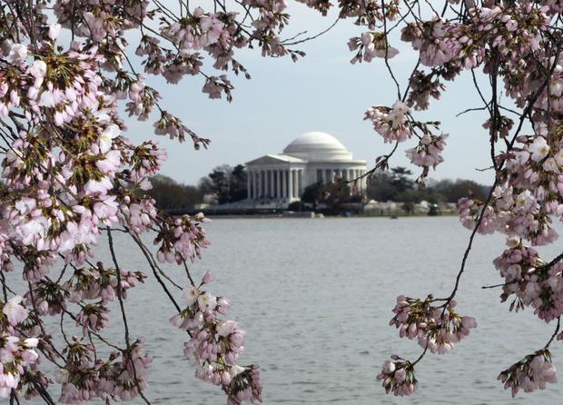 cherry_blossoms_AP110325134689.jpg