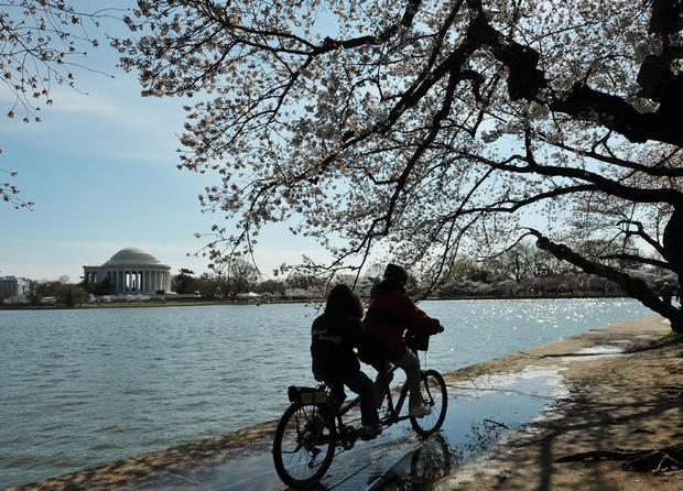 cherry_blossoms_110871787.jpg