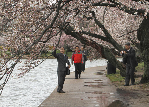 cherry_blossoms_AP110324021275.jpg