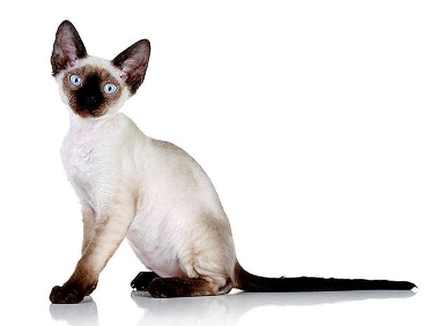 Devon_rex_cat_iStock_000015.jpg