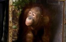 """Born To Be Wild"" orangutans"