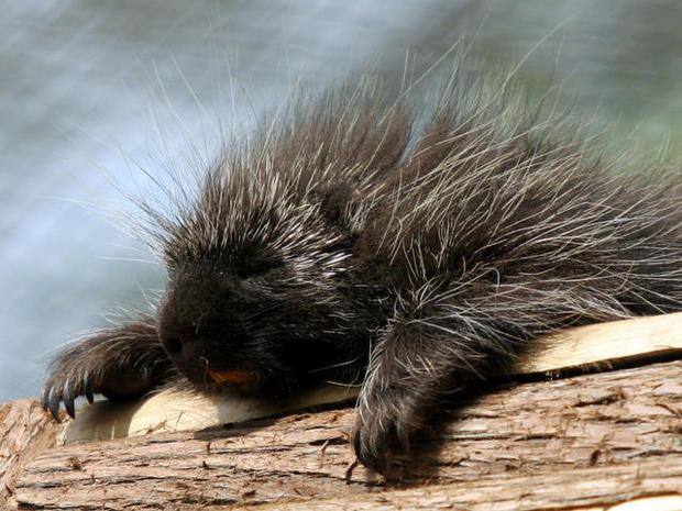 Porcupines: Pennsylvania's public enemy no. 1