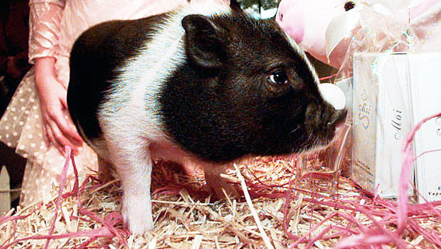 Ham on the lam: Pa. police send pet pig to farm, man wants it back