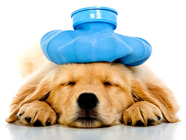 what to feed sick dog