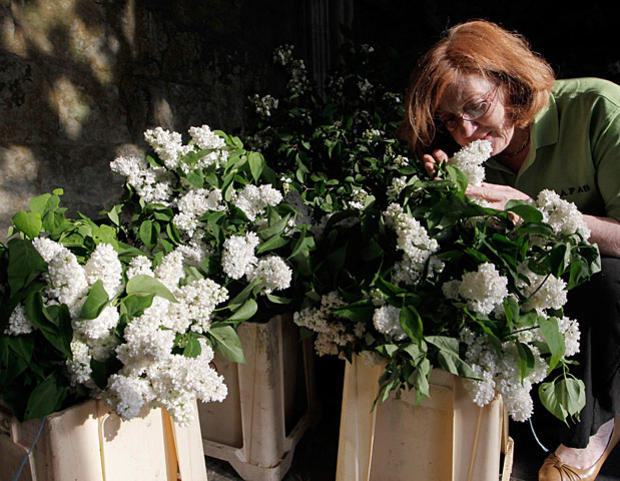 Wendy Davis, National Association of Flower Arranging Societies member, prepares lilac flowers for floral arrangements to decorate Westminster Abbey,.