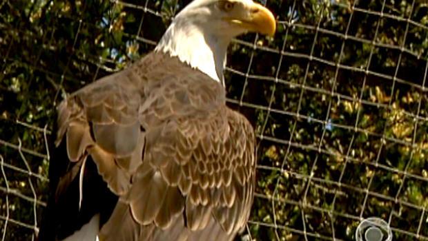 Bald eagles, Catalina Island, California