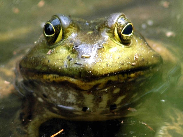 California high school bans frog dissections, goes virtual