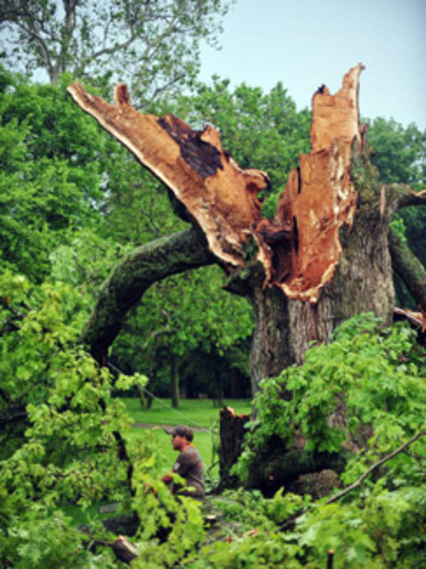 500-year-old tree falls in Ohio storm - CBS News