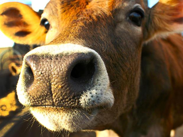 cow, stock, 4x3, milk
