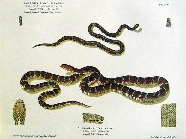 10  Common Indian krait - Snake! 15 deadliest serpents - Pictures