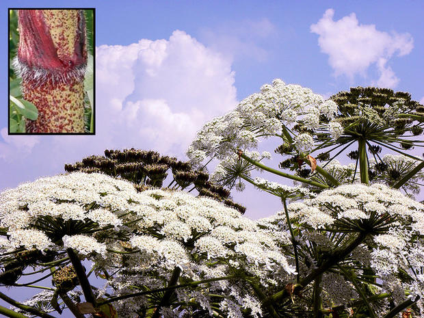 What Does Giant Hogweed Look Like Giant Hogweed 8 Facts You Must Know About The Toxic Plant Pictures Cbs News
