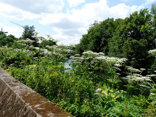 Giant Hogweed Michigan Map.Where Does Giant Hogweed Grow Giant Hogweed 8 Facts You Must