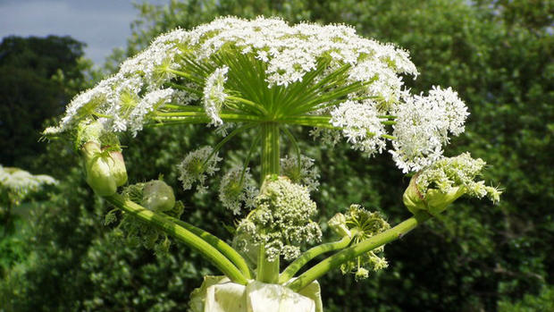 Giant Hogweed Michigan Map.Dangerous Giant Hogweed Found In Michigan Cbs News