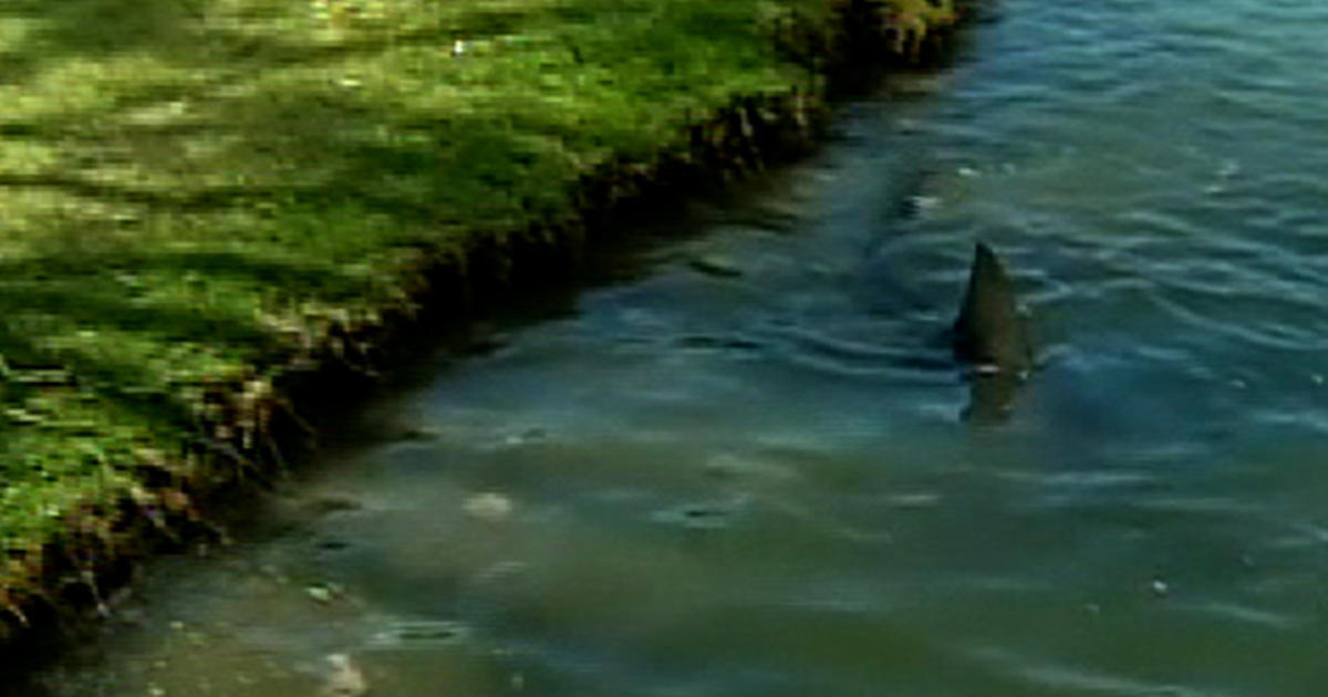 sharks a true hazard on golf course in australia cbs news. Black Bedroom Furniture Sets. Home Design Ideas