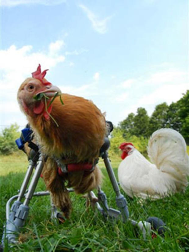 chickensonwheels.jpg