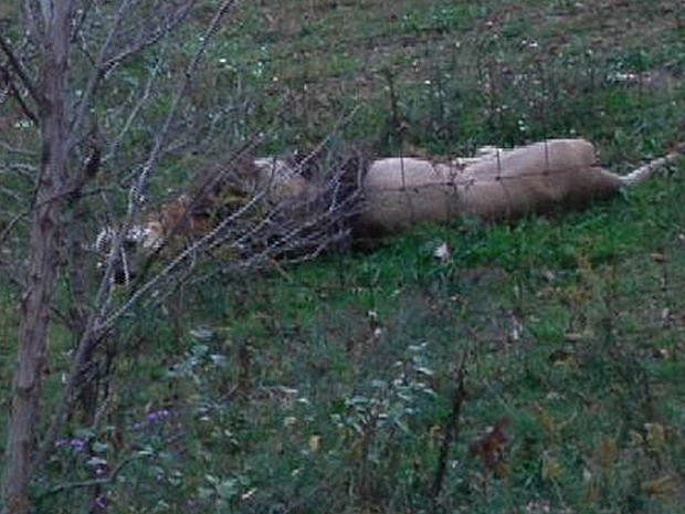 A dead lion lays by the fence on Terry Thompson's farm near Zanesville Ohio, Oct. 18, 2011.