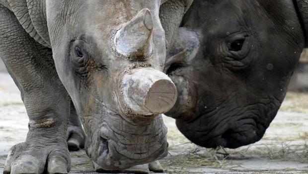 rhino subspecies vanishing from the wild cbs news