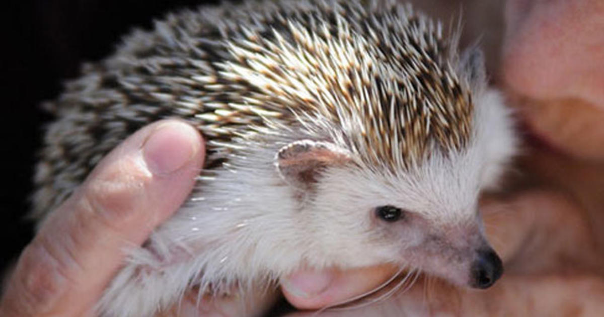Unusual Pets That Are Legal To Own Cbs News