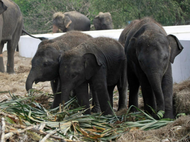Asian elephants at a reserve in Thailand