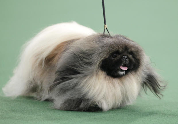 Malachy, a Pekingese, competes for best in show