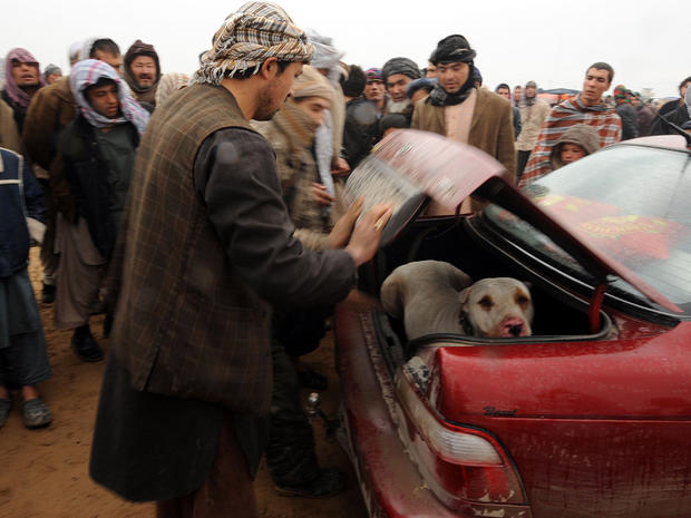 An Afghan man puts his dog in the trunk of his car after a dogfighting session in Mazar-i-Sharif, Afghanistan, Jan. 13, 2012. Dogfighting, which was outlawed under Taliban rule, is now legal in the war-torn country with thousands of spectators gathering each Friday from November to March to watch the show.
