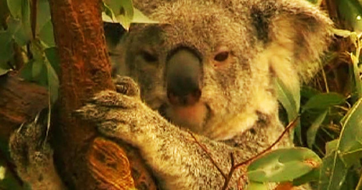 characteristics of koala a threatened species Physical characteristics (australian koala foundation except under a threatened species permit koala is one of top 10 species in world threatened.