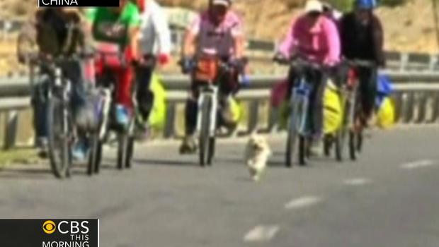Stray dog runs with cyclists