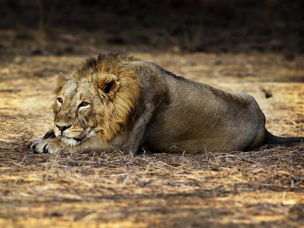 Last lions in India