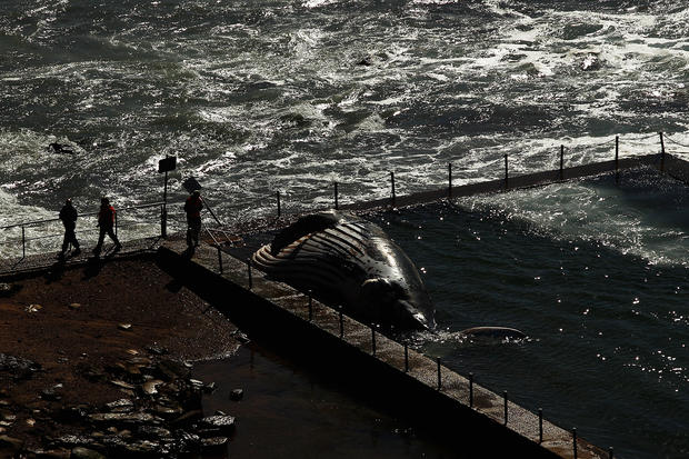 Humpback whale washes up on Sydney beach