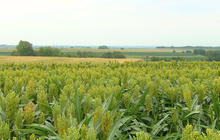 Corn crop alternative thriving in drought weather