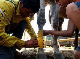 George Marchand (L) and his nephew Loren Marchand wrap their horse's legs in preparation for the Omak Suicide Race August 15, 2004 in Omak, Washington.