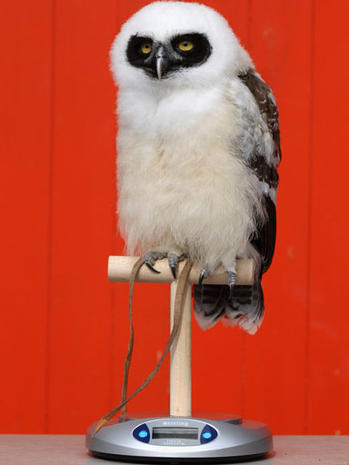 London Zoo conducts annual weigh in