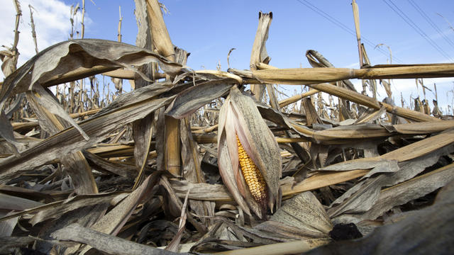 In this Sept. 19, 2012, photo corn plants weakened by the drought lie on the ground after being knocked over by rain in Bennington, Neb.