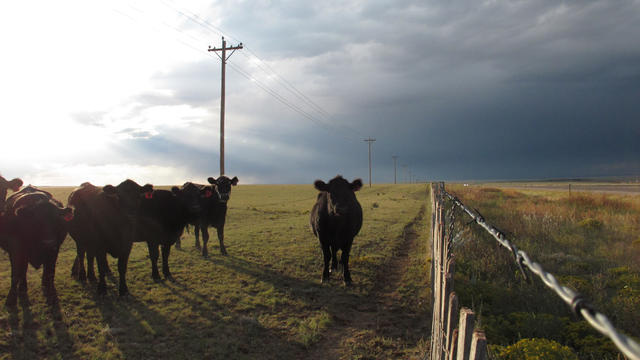 Cattle graze on a ranch outside of Encino, N.M., in this Sept. 26, 2012 photo.