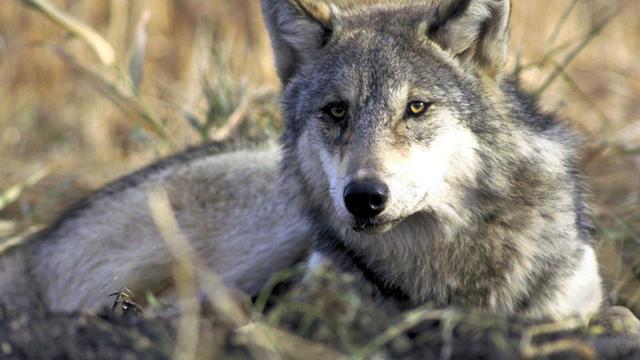 gray-wolf-AP040303112052.jpg