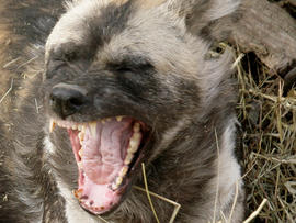 An African Painted Dog yawns at the Pittsburgh Zoo and Aquarium in Pittsburgh as he lays in a pile of hay Thursday, March 12, 2009.
