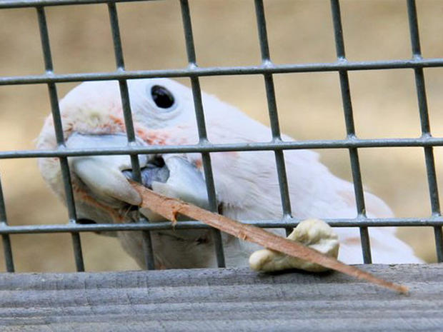 This Goffin's cockatoo named Figaro is believed to be the first parrot ever observed to craft tools for reaching food and other objects.