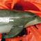 dolphin gunshot
