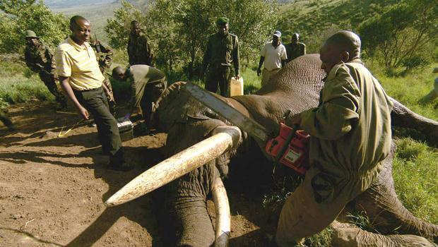 Kenya cracks down on elephant poaching