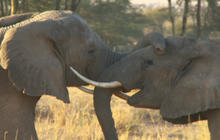 Protecting elephants against poachers in Kenya