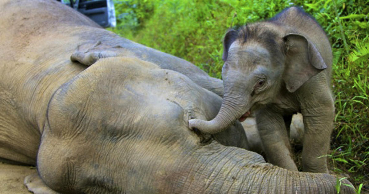 Image result for 14 pygmy elephants that were killed in January 2013 in a Malaysian