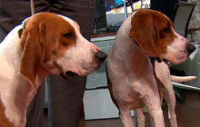 "Westminster Dog Show figure introduces 2 new dogs on ""CTM"""