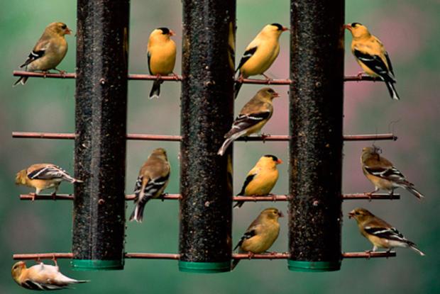 Sartore_goldfinches.jpg