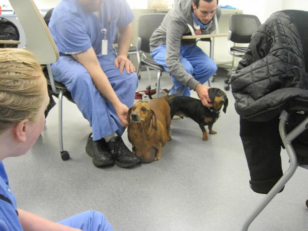 Obese dachshund's weight loss journey