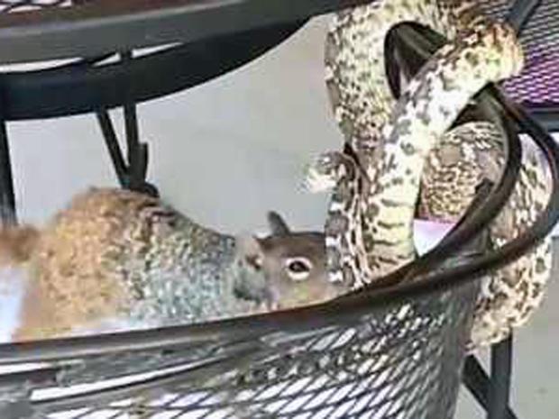 Squirrels: America's tiny menace