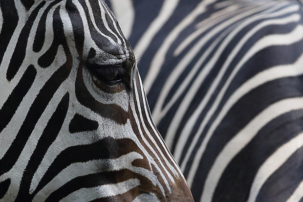 Singapore Zoo celebrates 40 years