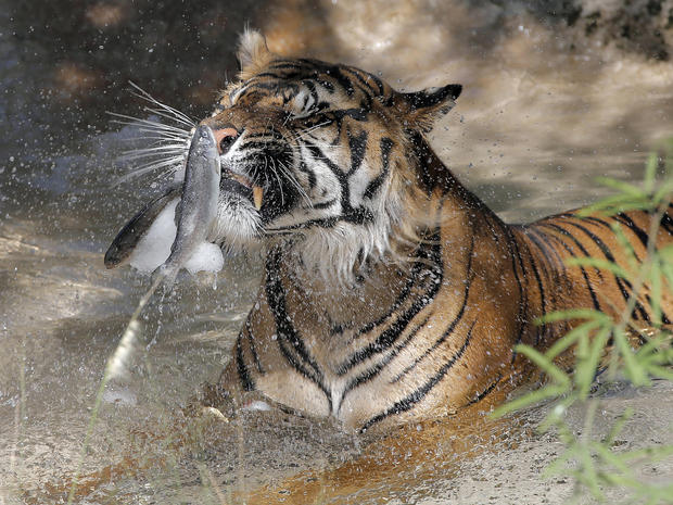 Jai, a tiger at the Phoenix Zoo, breaks apart frozen trout while sitting in his pool to keep cool June 28, 2013, in Phoenix.