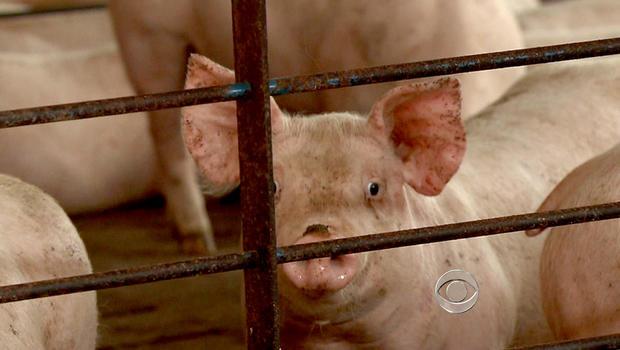 A hog looks through the fence at Smithfield Food farm in Virginia.