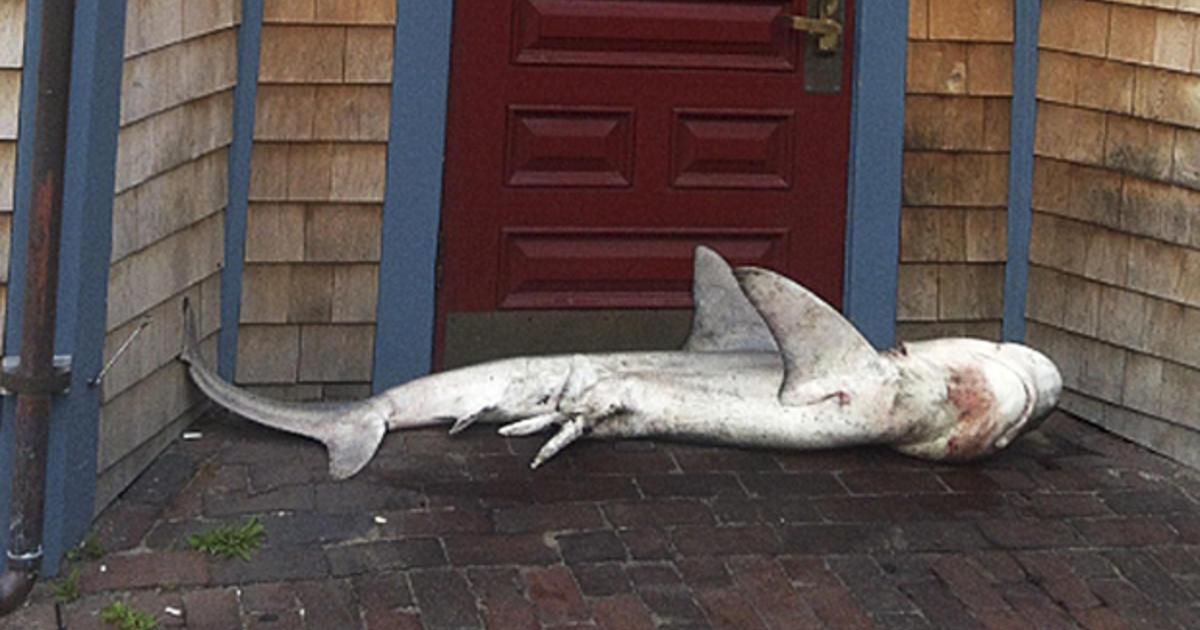 Shark found at door of Mass  pub - CBS News